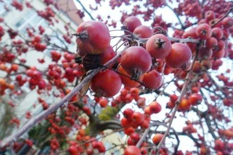 FOTKA - ozdobná jabloň-prosinec