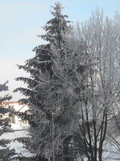 FOTKA - Ojínělé stromy