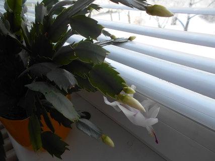 FOTKA - Rozkvetlý květ v sobotzu 13.2.2021