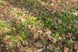 První trsy v suchém listí