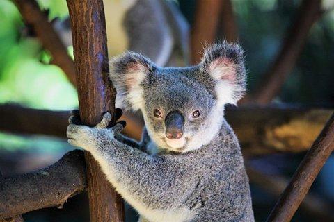 FOTKA - Koala medvídkovitý