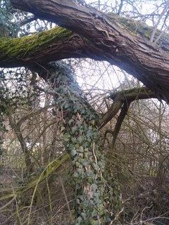 FOTKA - Břečťan na kmeni stromu