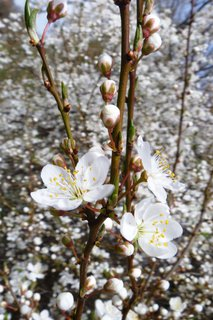 FOTKA - rozkvetly trnky