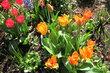 Směs tulipánů na sídlišti