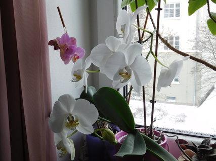 FOTKA - Další květy na bílé orchidejce (9.2.)