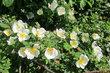 Růže šípková na Proseku