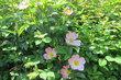 Dnešní odpoledne v parku - mezi růžemi