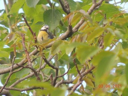 FOTKA - Malá sýkorka na ořechu