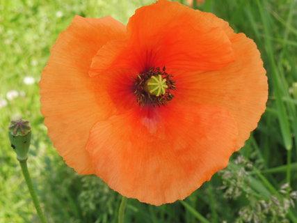 FOTKA - detail květu vlčího máku