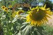 Park v Čakovicích - pracovníci ani slunečnice nepoškodili