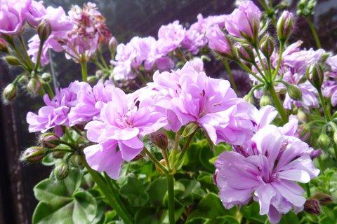 FOTKA - muškát barvy lila