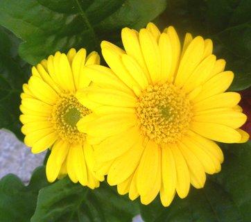 FOTKA - dva žluté květy,