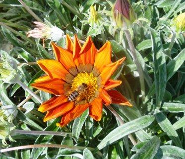 FOTKA - gazánie a včelička