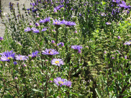 FOTKA - fialové skoropodzimní kytičky