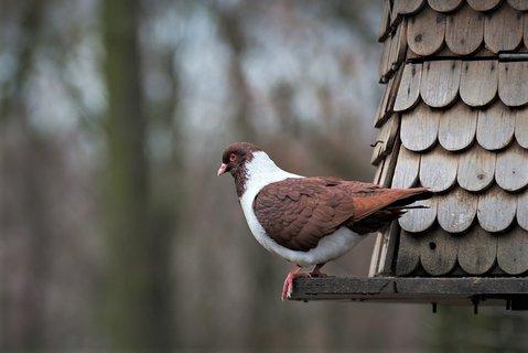 FOTKA - holub domácí