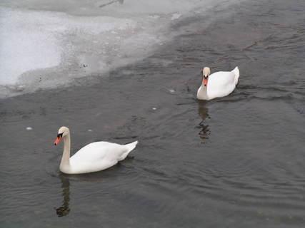 FOTKA - labutě na Úpě