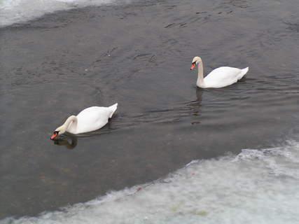 FOTKA - labutě na Úpě - zima 2003