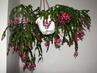 vánoční kaktusy na chodbě