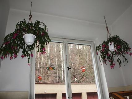 FOTKA - Kvetoucí kaktusy na chodbě