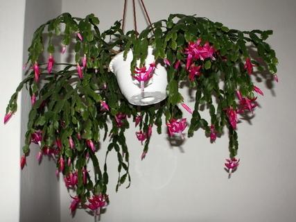 FOTKA - vánoční kaktusy na chodbě