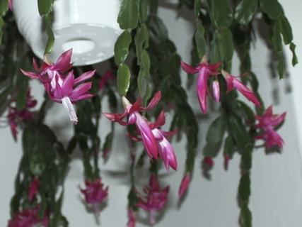 FOTKA - Kvetoucí vánoční kaktusy na chodbě - detail