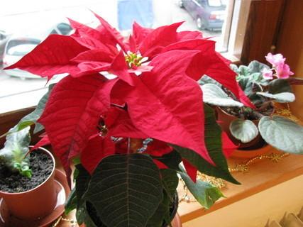 FOTKA - Vánoční hvězda