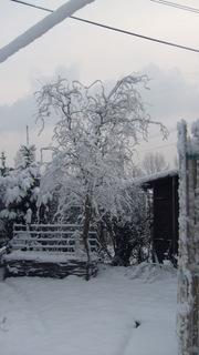 FOTKA - smuteční vrba v zimě