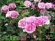 Ružový ker
