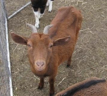 FOTKA - Koza z Cirkusu Bernes