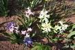 Hyacinty na zahrádce