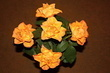 Růže - květ do hvězdy