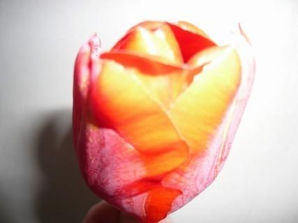 FOTKA - tulipán\\\
