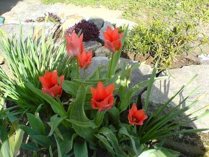 FOTKA - tulipány ve stínu