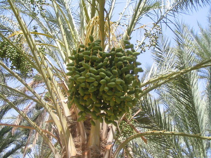 FOTKA - datlová palma