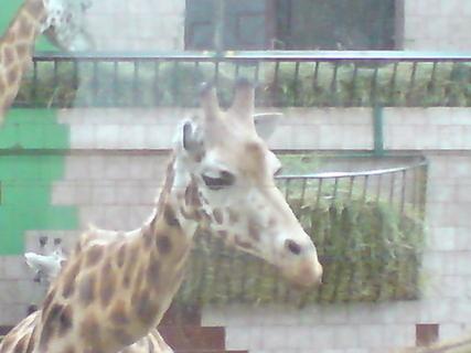 FOTKA - žirafa 1
