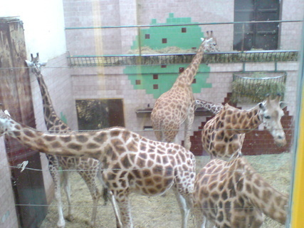 FOTKA - žirafa 2