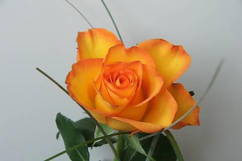 FOTKA - Růže z texasu