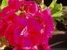 květ muškátu