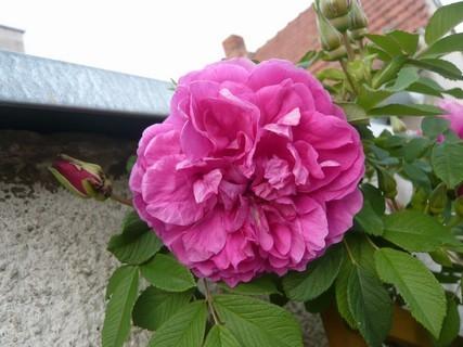 FOTKA - popínavá ruže před barákem\\\\\