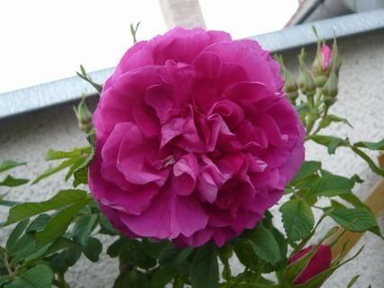 FOTKA - popínavá ruže před barákem\\\\\\