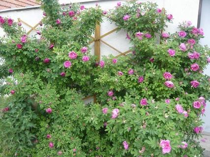 FOTKA - foceno dnes ráno - popínavá ruže