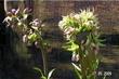Lilie zlatohlavá