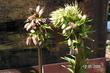 Lilie zlatohlavá květen 09