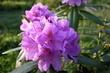 Květ rododendronu