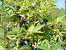 Kamčatské borůvky jsou již zralé