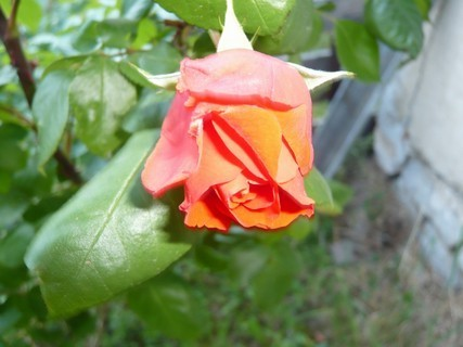 FOTKA - růžíčka