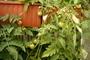 rajčátka v truhlíku na balkoně