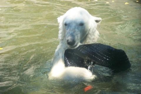 FOTKA - lední medvěd