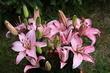 Růžové lilie - detail