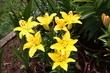 Lilie žluté